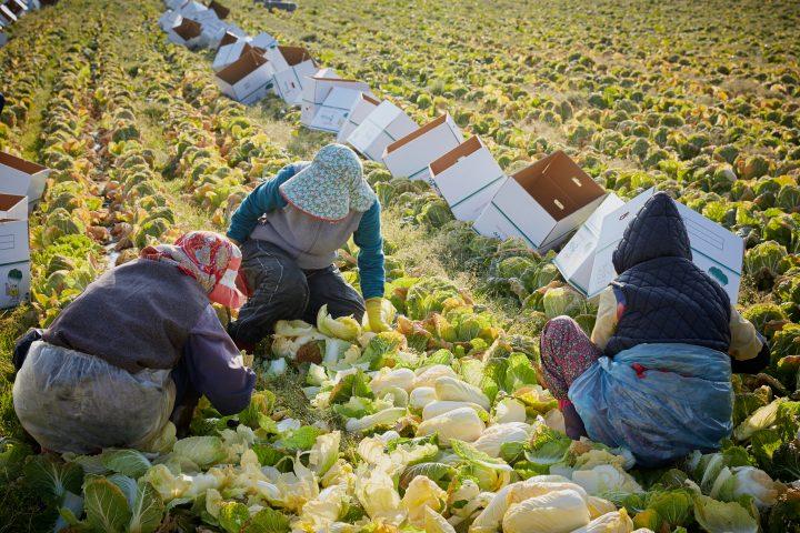 제주도 서귀포시 성산읍에서 계약재배한 황금배추를 수확하고 있다